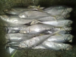 Frozen Big Size Horse Mackerel (Trachurus japonicus) pictures & photos