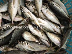 New Fish Horse Mackerel (14-18cm) pictures & photos