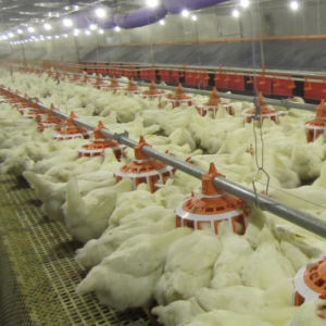 Chicken Automatic Main Feeding Line From Superherdsman pictures & photos