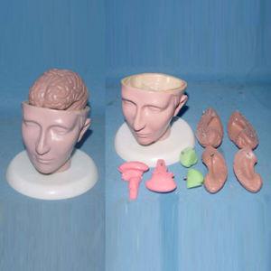 Skull Skeleton and Brain Anatomic Demonstration Model (R050115) pictures & photos