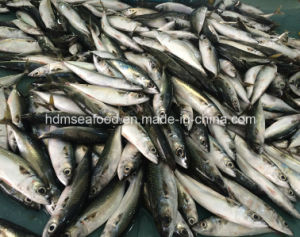 New Fish Mackerel (Scomber Japonicus) pictures & photos