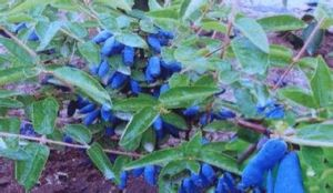 Factory Supply Directly Competitve Prices Lonicera Edulis Extract pictures & photos