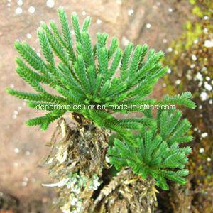 Selaginella Tamariscina Extract Powder, Amentoflavone pictures & photos