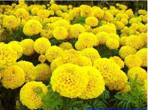 Lutein /Marigold Extract/Marigold Flower Extract Powder pictures & photos