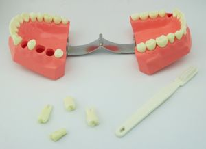 Two Times Tooth-Brushing Model pictures & photos