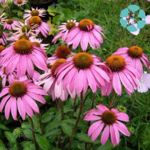 Echinacea Extract / Echinacea Purpurea Extract / Polyphenols / Chicoric Acid pictures & photos