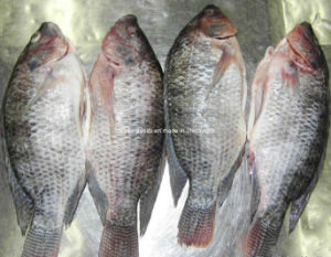 High Quality Bqf Frozen Whole Round Tilapia