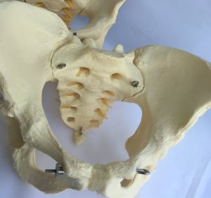 Lab Demonstration Human Female Pelvis Medical Care Skeleton Model (R020804)