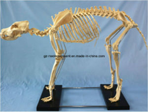 Life Size Plastic Human Torso Cat Dog Fetal Skeleton pictures & photos
