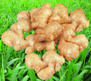 Shandong Factory Yellow Ginger pictures & photos