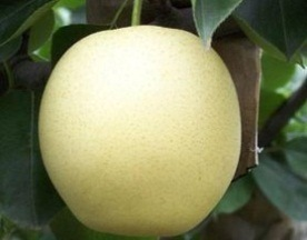 Yellow Shine Top Quality Delicious Golden Pear pictures & photos