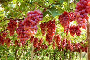 Amino Acid Fertilizer for Grape, Tomato, Banana, Kiwi pictures & photos