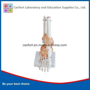 Teaching Model Human Skeleton Model Natural Size Foot Joint Model pictures & photos