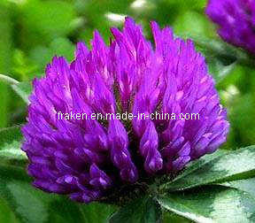 High Quality Red Clover Extract & Epimedium Extract pictures & photos