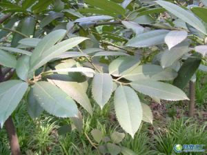 Indigowoad Leaf Extract