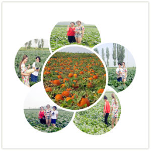 Heilongjiang New Crop Snow White Pumpkin Seeds to Europe pictures & photos