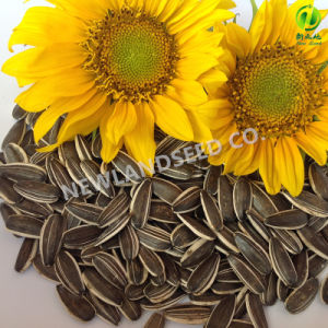 Export The Most Popular Sunflower Seeds 5009 to World pictures & photos