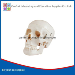 Teaching Model Natural Size Human Skull Model, Anatomic Model pictures & photos