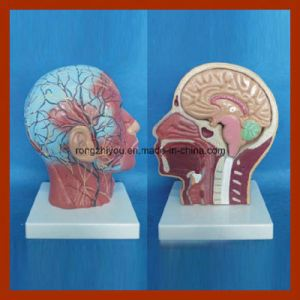 Muscle, Nerve Blood Vessel with Dissectible Brain Model pictures & photos