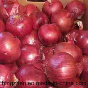 Good Quality New Crop Onion 5cm-9cm pictures & photos
