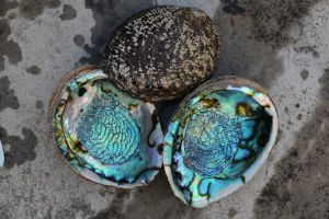 New Zealand Paua Abalone Shell Raw Material for Home Decoration pictures & photos