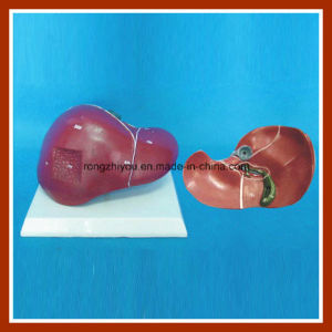 Human Liver Anatomy Teaching Model pictures & photos