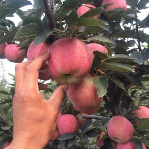 Export Fresh FUJI /Red Star Apple pictures & photos