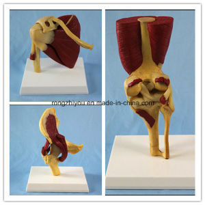 Elbow Hip Shoulder Joint with Functional Muscles Anatomical Model pictures & photos