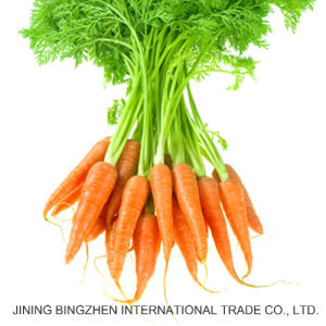 Hot Sale for 150g-200g 2017 New Fresh Carrot From China. pictures & photos