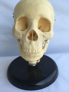 High Quality Human Skeleton Anatomy Bone Model (R020610) pictures & photos