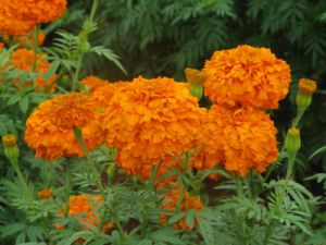 Pure Natural Lutein of Marigold Extract to Protect Eyesight pictures & photos