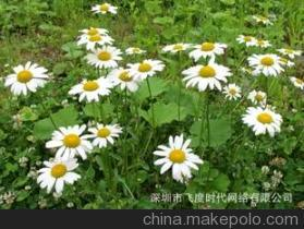 Pyrethrum Extract/ Pyrethrin /Pyrethrum Extract Powder/Pyrethrum P. E pictures & photos