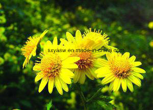 Mother Chrysanthemum Extract 10: 1 Flos Chrysanthemi Indici Extract pictures & photos