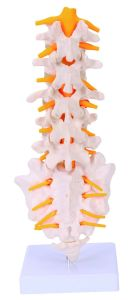 Lumbar Model Spinal Column with Sacral and Coccyx Bones Laboratory Equipment pictures & photos