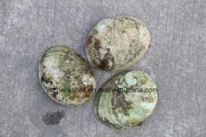 Green Lip Abalone Shell Raw Material pictures & photos