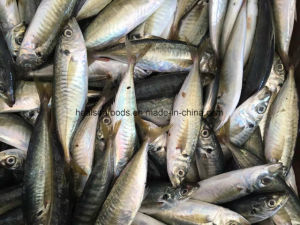 18cm+ Frozen Horse Mackerel for Africa Market pictures & photos