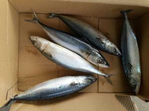 Marine Fish Fresh Big Size Mackerel Frozen Hot Sale pictures & photos