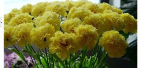 Many Colours Carnations Dianthus Caryophyllus