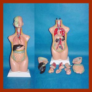 50cm Human Torso Model, Anatomical Torso Model (12 PCS) pictures & photos