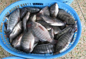Farm Tilapia Fish with Whole pictures & photos