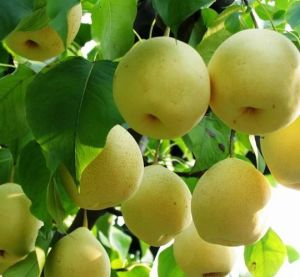 Fresh Ya Pear with High Quality pictures & photos