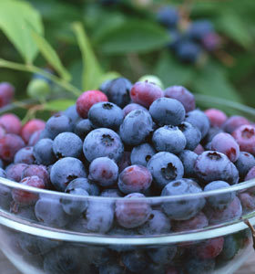Bilberry Extract, Anthocyanidins