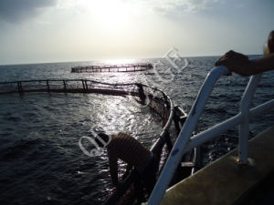 HDPE Floating Round Net Cages Culture Tilapia pictures & photos