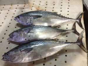W/R Super Frozen Black Skipjack Fish pictures & photos