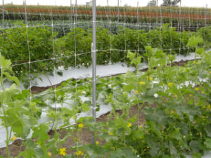 Plant Support Trellis Netting for Supporting Climbing Fruit and Vegetables pictures & photos