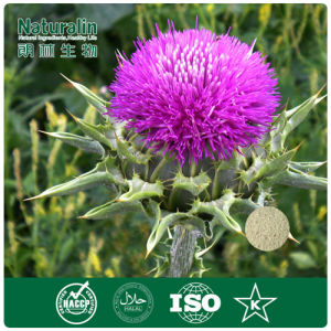 100% Natural Milk Thistle Extract 80% Silymarin Extract Powder