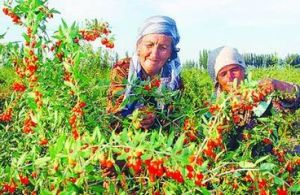Chinese High Quality Dried Goji Berry pictures & photos