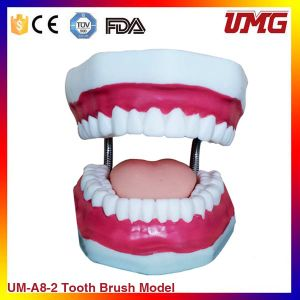 Dental Teaching Model Dental Manilkin Teeth Model for Oral pictures & photos