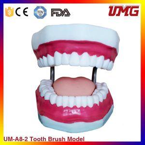 Dental Teaching Model Dental Manilkin Teeth Model for Oral pictures & photos