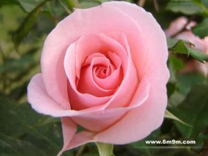 Rose Bushes- 1